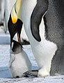 2007 Snow-Hill-Island Luyten-De-Hauwere-Emperor-Penguin-61.jpg