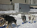 2008 Iditarod Anchorage (2311644535).jpg