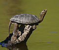 2009-Western-pond-turtle.jpg