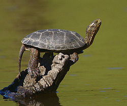 Western pond turtle wikipedia western pond turtle publicscrutiny Gallery