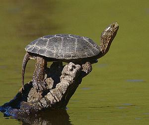 Western pond turtle - Actinemys marmorata.