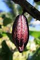2012-02-Theobroma cacao anagoria 02.JPG