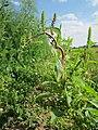 20120903Amaranthus retroflexus2.jpg
