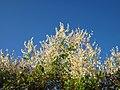 20120922Fallopia baldschuanica1.jpg