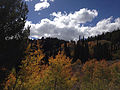 2014-09-25 13 47 32 Aspens showing some autumn leaf coloration amid Subalpine Firs along Charleston-Jarbidge Road (Elko County Route 748) about 15.4 miles north of Charleston in Elko County, Nevada.jpg