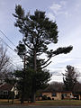 2014-12-30 13 05 42 Eastern White Pine along Linwood Avenue in Ewing, New Jersey.JPG