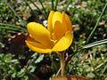 20140217Crocus chrysanthus2.jpg