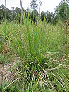 20140518Carex pallescens1.jpg