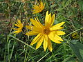 20140928Helianthus tuberosus4.jpg
