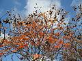 20141107Koelreuteria paniculata1.jpg