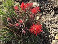 2015-04-26 15 12 33 Red wildflower at around 6700 feet on the southern slopes of Grindstone Mountain, Nevada.jpg