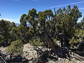 2015-04-28 13 30 02 An older Utah Juniper on the south wall of Maverick Canyon, Nevada.jpg