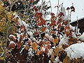 2015-11-02 10 37 35 Snow on a Vine Maple's autumn foliage along Brockway Road in Truckee, California.jpg