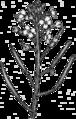201606 07 Arabidopsis thaliana.png