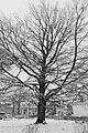 2017-02-11 ND27 Blutbuche Essen-Haarzopf 02.jpg