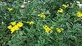 2017-08-01 (22) Tanacetum vulgare at Haltgraben.jpg