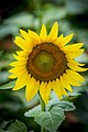 20170716-PJK-Sunflowers-0009TONED (35927268446).jpg
