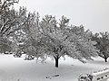 2018-03-21 11 33 56 A snow-covered Bradford Pear along Franklin Farm Road (Virginia State Route 6819) in the Franklin Farm section of Oak Hill, Fairfax County, Virginia.jpg