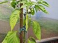 2018-06-18 (106) Capsicum (pepper) at Bichlhäusl in Frankenfels, Austria.jpg