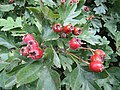 2018-08-26 Berries on a Hawthorn bush (Crataegus monogyna), Trimingham (2).JPG