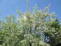 20180504Elaeagnus angustifolia3.jpg