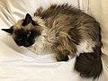 2019-11-05 20 53 23 A Ragdoll cat lying on a couch in the Franklin Farm section of Oak Hill, Fairfax County, Virginia.jpg