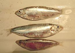 3 specimens of Clupeonella cultriventris