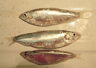 Black Sea sprat species of fish