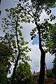 68-104-5025 Катальпа Кам'янець-Подільський.jpg