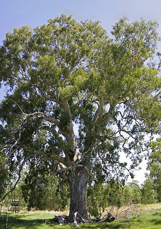 Eucalyptus camaldulensis - 700-year-old River Red gum in the Wonga Wetlands, NSW