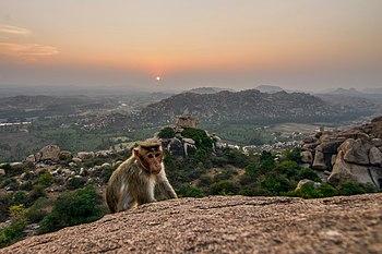A-Bonnet-Macaque-Sunset-Anjanadri.jpg
