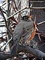 AMERICAN ROBIN Turdus migratorius (15646425024).jpg
