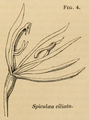 A Sketch of the Vegetation of the Swan River Colony - Figure 4-original.png