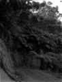 A bend on the Karekare Road with tree ferns above and below the road. ATLIB 286821.png