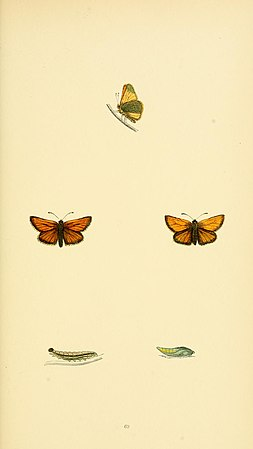 A history of British butterflies BHL14821398.jpg
