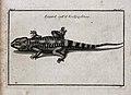A lizard with a greek name. Etching. Wellcome V0022473.jpg