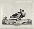 A pigeon standing on a rocky patch. Etching by C. M. Fessard Wellcome V0020580.jpg