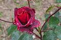A tensión superficial da auga sobre unha rosa. Oroso. Galiza.jpg