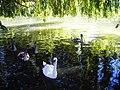 A view of a family of Swans on the River Avon - geograph.org.uk - 1096635.jpg