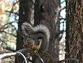 Abert's squirrel (11740399534).jpg