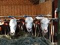 Abondance cattle feeding @ Saint-Jorioz (50470528778).jpg