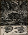 Above, a wild boar passing rushes on a lake, below, its trac Wellcome V0021102.jpg