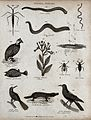 Above, an insect, three gastropod molluscs, a guinea hen and Wellcome V0020672ER.jpg
