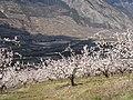 Abricotires en fleurs - panoramio.jpg