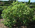 Abutilon eremitopetalum (5643854349).jpg