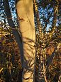 Acacia murrayana bark.jpg