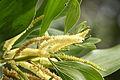 Acacia pj20130608.JPG