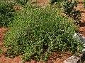 Acalypha fruticosa W IMG 3175.jpg