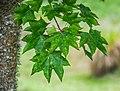 Acer cappadocicum in Hackfalls Arboretum (2).jpg