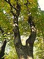 Acer obtusatum (44).JPG